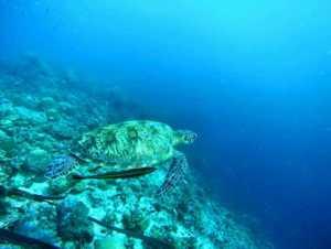 Schildkröte Apo Island Schnorcheln