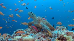 Meeresschildkröte Moalboal Philippinen