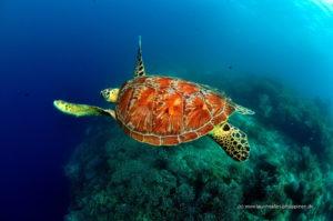 tauchsafari philippinen schildkröte